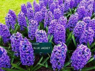 Hyacinty v Keukenhof